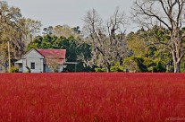 Red field, near Kingstree, S.C.