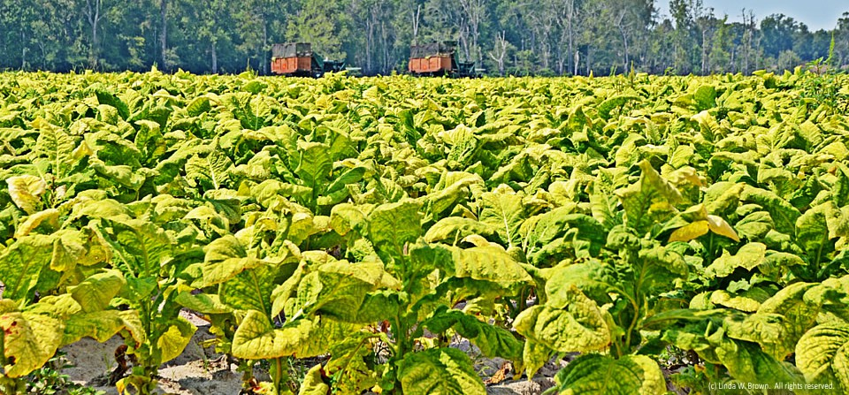 Tobacco field, Florence County, S.C.