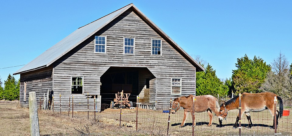 Two mules, Florence County, S.C.