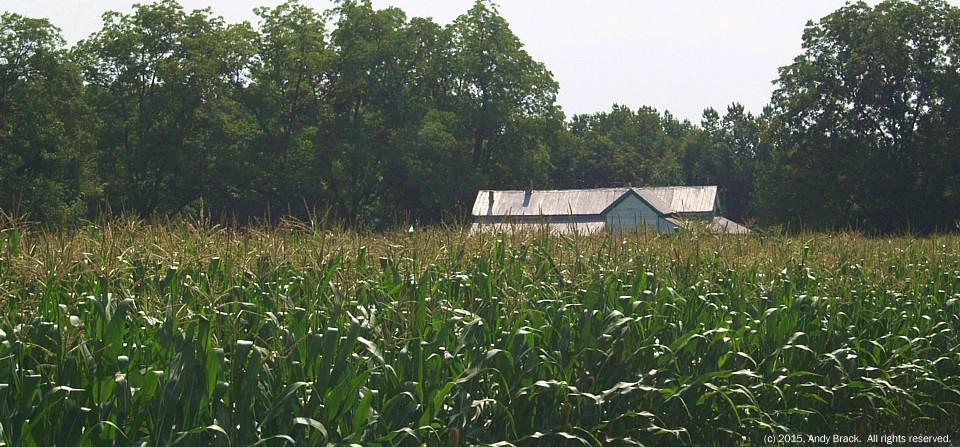 Corn on a muggy day, Denmark, S.C.